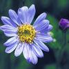 今日の誕生花「ミヤコワスレ」いろいろな色があるが切花は濃紺しか売られてない花!