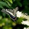 日本 文殊の森公園のアゲハチョウ