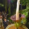 「世界最大の花」開花、見ごろは3日ほど 茨城・つくば