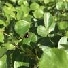 バラのアブラムシ対策 低農薬有機栽培で頑張る方法 無農薬方法も必見