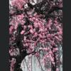 2月22日(月)一陽来復、は〜るよ来いは~やく来い、会津の春は梅も桜も一緒に訪れる、