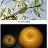日本最古の果物の一つともいえるナシ.古代では五穀を助ける救荒作物の一つ.万葉集にも詠まれています.  しかし,「ナシ」という音を掛詞に使っていたり,紅葉が詠まれたり,食べる果実としてのナシは登場しません.梨の花は,絶世の美女・楊貴妃が涙ぐんでいる様子に例えられた(長恨歌)美しい花ですが,これも万葉集では詠まれていません.ナシが果樹園で栽培されるようになったのは江戸時代中期.以降,続々と新しい品種が選抜されたり,生み出されてきました.