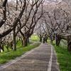 2018お花見サイクリング その2~さくら堤公園