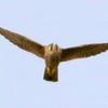 上空から獲物を狙うハヤブサ