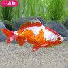 (国産金魚)一点物 更紗和金 平賀養魚場産 19cm±(1匹) 沖縄別途送料