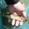 根羽川 鮎釣りに行ってきました!
