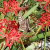 ヒガンバナに蝶が舞う。