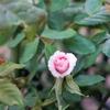 2021春最初に咲いたバラは