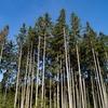 ツリーメディシン~モミの木の癒し