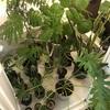 【我が家の植物全員集合】朝起きて、植物達に水やり。やはりお部屋のインテリアには観葉植物がおすすめ。