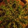 Euphorbia atroviridis 成長記(2018.10.25)