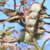 桜にエナガ団子!