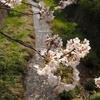 一の坂:桜、桜、桜