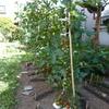 菜園だより'20 ⑨ ミニトマトの初収穫
