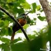 ベリーズ 村の森の Rufous-tailed Jacamar (ラフォーステイルド ジャカマル)