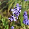 春を彩るヒアシンス