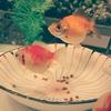 金魚の食欲とツバメの巣