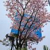 インド バンガロール、2017年4月14日はGood Fridayで祝日☆インド版桜の木が満開!