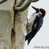電柱の Acorn Woodpecker (エイコーン ウッドペッカー)