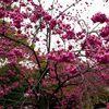 清澄庭園の開花した緋寒桜