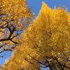 「神宮外苑いちょう祭り」の黄金色のイチョウのトンネル