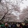 モダンアート展を観てきたし、上野の桜は凄かった。どちらかと言えば桜を見るあなたが好き。