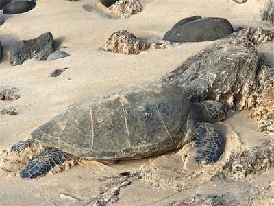 ハワイドライブ~ラニアケアビーチのウミガメさん、サンセットビーチのヤシの木と夕日~