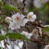 再び十月桜