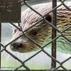 Ueno zoo - カワウソ二種盛り