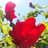 うちの庭、探検!季節の植物。バラが咲いた。
