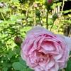 五月のバラ と バラ科たち