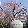 2019上野公園の桜 開花状況 [Cherry blossoms] Ueno Park 🌸🌸