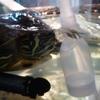 ◆キバラスッポンガメ