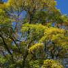 「青空と黄葉」兼六園