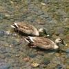 二羽(夫婦)の鴨