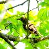 手賀沼遊歩道ー青葉の中のコムクドリ