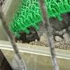 トウブドロガメ繁殖記 2