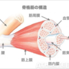 【解剖・生理学】筋組織(骨格筋・平滑筋・心筋)の特徴-その4