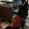 甲斐犬サン、遅ればせながら犬服を着るの巻(´^`;)
