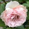 【庭】ザミルオンザフロスとロアルドダール、植え替え