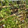 ぶどう・サルナシ収穫
