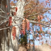 真っ赤な尻尾のようなお花はアカシデ