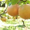 【秋の味覚】梨狩りに行ってきました!