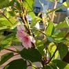 今年植えた河津桜に花が