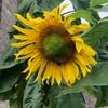 夏の花はやっぱりひまわり! 東京オリンピックのブーケにもヒマワリが使われています。花言葉は「願望」