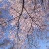 週末(3月30日・31日)の相模原さくら祭り情報!