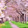 今年は桜開花が早いようです