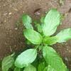 ダイソーのタネ 健康野菜モロヘイヤ収穫開始
