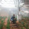 火星で栽培に適しているのはレタスやサツマイモ、タンポポもよく生える