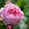 薔薇の香りのお話 2・・・スイートシスリーの香り・・・アニス(ミルラ)の香り